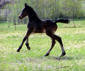 Spider 2013 Foal